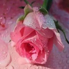 Rose Zizou